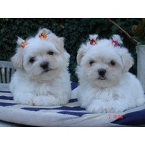 Maltes Malteses Cachorros Mini Miralos Criadero Natacuerva