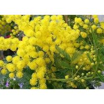 Acacia Golden Mimosa 3 Semillas Solo Mercadopago Nmp Sdqro