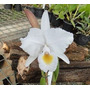 Muda Orquídea Cattleya Híbrida