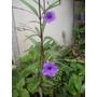 Arbusto Flores Lila ,ruellia, Atrae Mariposas Y Colibries,