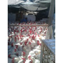 Gallinas Broilers