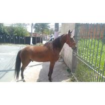 Cávalo Mestiço Argentino