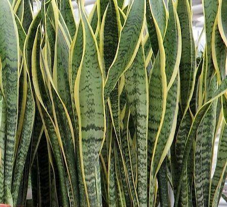 Plantas Lengua De Suegra Espada De San Jorge Sansevieria 14000