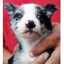 Cachorro Azul Mirlo Con Pedigree Internacional