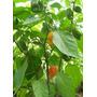 1 Libra De Semillas De Chile Habanero - Capsicum Chinense
