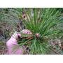 10 Semillas De Pinus Thunbergii - Pino Negro Codigo 943