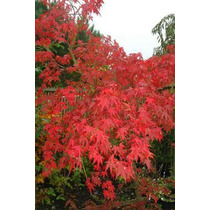 12 Semillas De Acer Palmatum Osakazuki (maple Osakazuki)