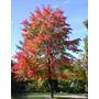 10 Semillas De Acer Rubrum L (arce Rojo) $50 Codigo 863