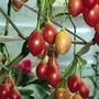 10 Semillas De Cyphomandra Betacea (arbol Del Tomate) 992