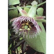 17 Semillas De Passiflora Ligularis - Granada China Cod 1011