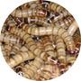 Zophobas X 50 - Ideal Para Geckos, Pogonas, Erizos Y Aves