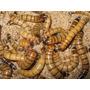 Zophobas - Tenebrios - Ideal Geckos, Pogonas Erizos Aves
