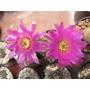 Echinocereus - Semillas De Cactus (pack X 50 Semillas)