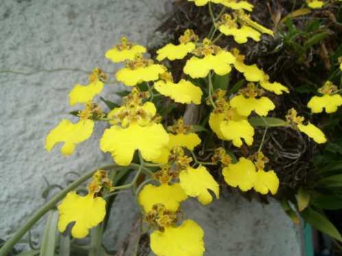 flor de patito, orquídea epífita nativa, flores amarillas