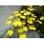 Flor De Patito- Orquídea Epífita Nativa, Flores Amarillas