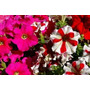 Plantines De Petunias Cajón-maceta Nº12- 10u $150