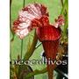 Plantas Carnivoras - Semillas Sarracenias Mix - Neocultivos