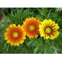 Plantas Gazaña Plantines Flores Flor El Viveruski Vivero