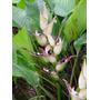 Heliconia Lourtigiae/ Marajoara - Flores Tropicais