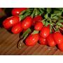 Sementes Da Maravilhosa Goji Berries Do Tibet A
