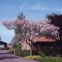 300 Sementes De Paulownia Tomentosa - Princess Tree - Kiri