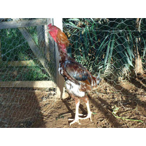 Indio Gigante (ovos Galados/ferteis) Crista De Bola