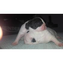 Bulldog Frances Criadero Il Mio Azienda Mascotas Macho