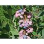 Kit Com 3 Mudas De Mirtilo (blueberry) Em Produção +adubo<br><strong class='ch-price reputation-tooltip-price'>R$ 60<sup>00</sup></strong>