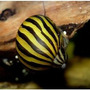Caramujo Neritina Zebra - Devoradora De Algas - Com 5 Unid.