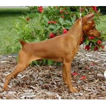 Pinscher Mini Super Pedigree Netos De Campeões Mundiais.