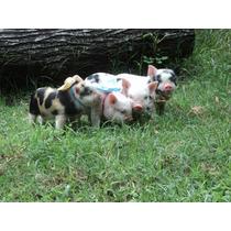 Mini Porco Linhagem Mini Alf. Promoção Machinho R$ 900,00