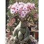 1000 Sementes 20 Variedades Adenium Obesum Rosa-do-deserto