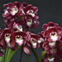 Orquídea Cymbidium Enzan Mermait Red Fire