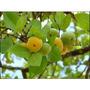 Muda Grande Da Fruta Rara Cagaita, Fruta Do Cerrado