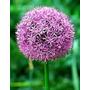 Sementes Allium Giganteum Plantas Mudas Ornamentais Jardim