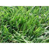 1/2 Kg. Semillas Festuca Longifolia - Hard Fescue Bardur 85