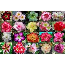 10 Sementes De Rosa Do Deserto Mix(1) Adenium Obesum +brinde