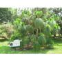 260 Semillas De Pinus Devoniana - Pino Michoacano Codigo 916