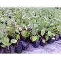 Plantas De Physalis