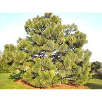 100 Gr. Aprox. 4000 Semillas Pinus Montezumae - Pino Ocote