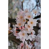 Arbol De Cerezo Japonés+ Gratis Su Abono Orgánico (humus)