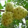 Mudas Da Fruta Noni Exclusivo ! *bonsa Junior*