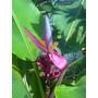 Musa Ornata / Planta De Banana Flor Rosada 1,50m Adulta