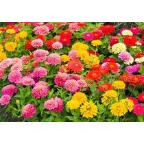 Zinnia Elegans Mix 10 Semillas Flores Planta Nmp Sdqro