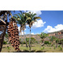 Muda De Palmeira Babaçú ( Orbignya Speciosa ) 20 A 30cm