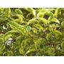 Árbol Vereda, Ligustro Disciplinado Grosor 8 A 10 Cm Perim 2