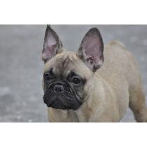Macho Bulldog Frances Excelente Filhote Pedigree Cbkc