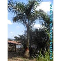 06 Mudas Palmeira Imperial 60cm Altura