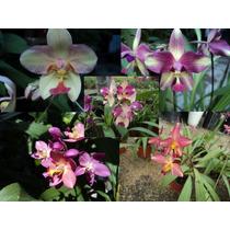 Orquideas Paquete Spathoglottis Plicata Diferentes Matizes
