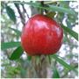 Cereja Do Rio Grande - Muda Frutífera